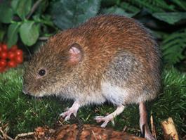 В Удмуртии 205 человек заразились мышиной лихорадкой