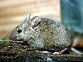 Мышка пробежала, хвостиком махнула... и 11 человек умерли