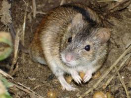 48 жителей Удмуртии подхватили мышиную лихорадку на работе