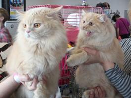 Кошки со всего мира искали в Ижевске пару