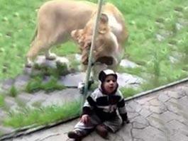 Видео, на котором львица пытается откусить голову малышу, просмотрели более 1 миллиона человек
