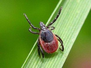 Клещи атакуют Удмуртию: более 60% всех насекомых заражены опасной инфекцией
