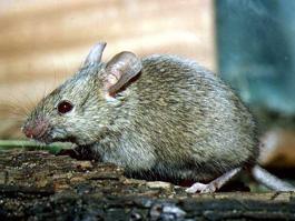 Уже 75 ижевчан заразились мышиной лихорадкой