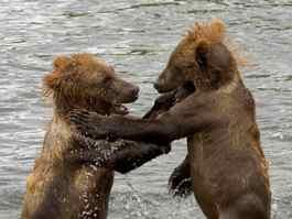 В Удмуртии осудили охотника, поймавшего двух медвежат