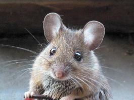 В Удмуртии 296 человек заболели мышиной лихорадкой