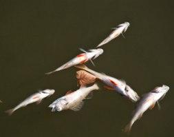 Массовая гибель рыбы произошла в Ижевском пруду