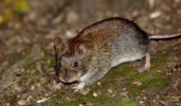 В Удмуртии количество заболевших мышиной лихорадкой растет