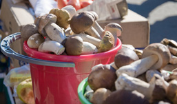 Под видом груздей ижевчанам продают сыроежки