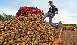 Уборка картофеля в Удмуртии задерживается