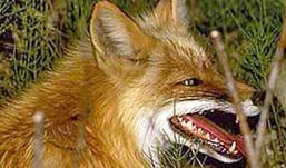 Три дня бешеная лиса «терроризировала» жительницу Удмуртии