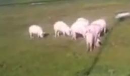 Ижевские свиньи атаковали Екатеринбург