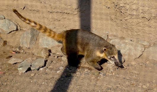 В ижевском зоопарке пополнение – у носухи родилось 5 малышей