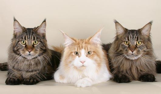 Кредит на метрового кота дали жительнице Екатеринбурга