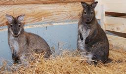 Кенгуру из Чехии поселились в Зоопарке Удмуртии
