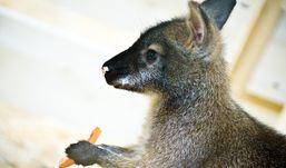 В зоопарке Ижевска поселились миниатюрные кенгуру