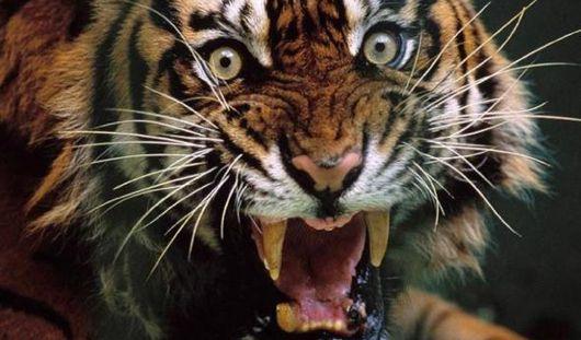 В Мексике тигр растерзал дрессировщика на глазах у зрителей