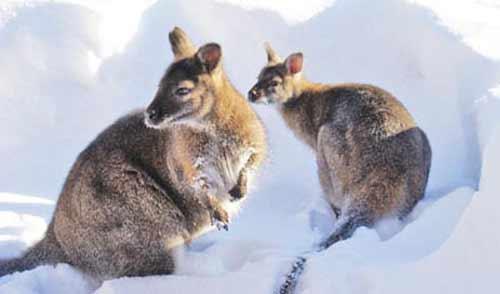 Фотофакт: новые жильцы ижевского зоопарка кенгуру Бенннета вышли на прогулку