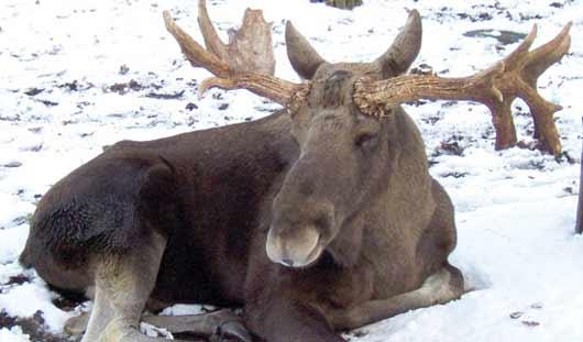 Браконьера из Удмуртии выдали следы от снегохода